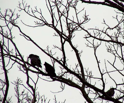 crows in tree