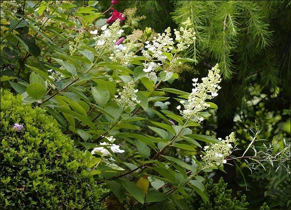 hydrangea paniculata die rispenhortensie 39 tardiva 39. Black Bedroom Furniture Sets. Home Design Ideas