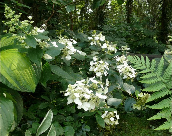 hydrangea paniculata die rispenhortensie 39 vera 39. Black Bedroom Furniture Sets. Home Design Ideas
