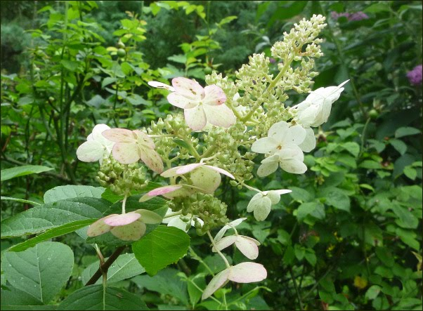 hydrangea paniculata die rispenhortensie pee wee 39. Black Bedroom Furniture Sets. Home Design Ideas