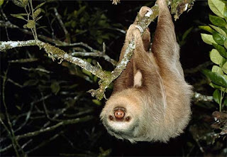 two-toed-sloth.jpg