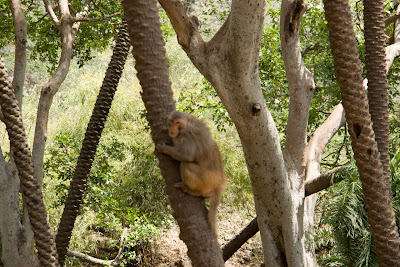 A monkey in Sariska