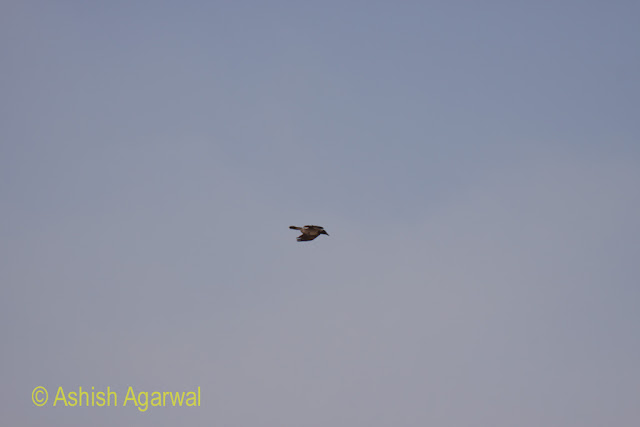 A bird high in the air above the pyramids of Egypt