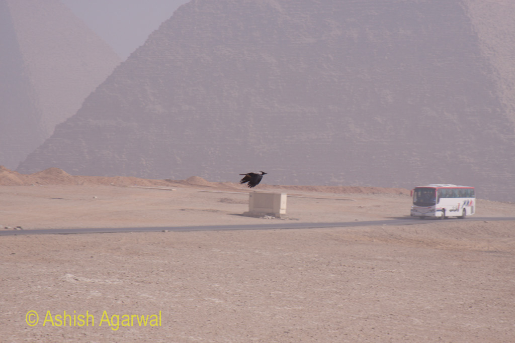 Cairo Pyramid - Crow flying against the backdrop of the Great Pyramids, as seen from the Panorama point