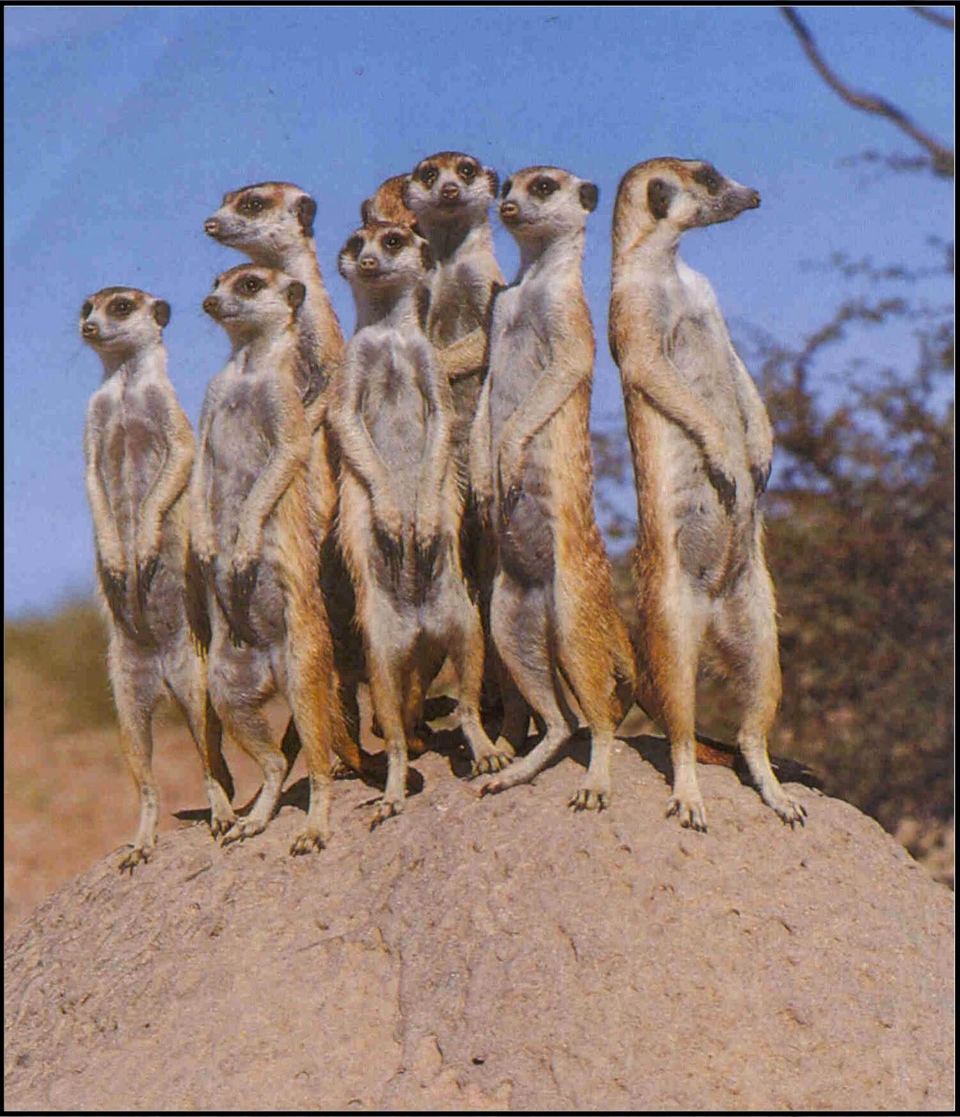 Meerkats life of pi - photo#12