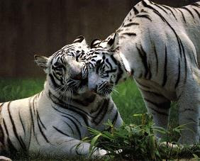Vida salvaje tigre de bengala asia for Bengala asia