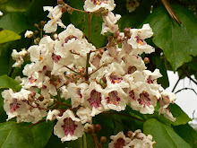 Flor de catalpa
