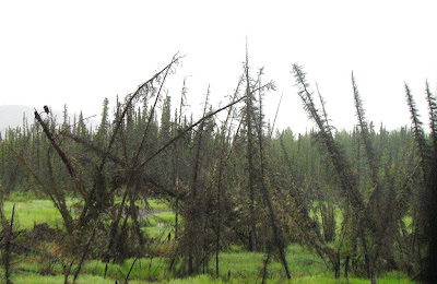 Drunken Forests are an example of the effects of permafrost melting...the trees become weak in the soil and bend because they are unable to hold themselves up