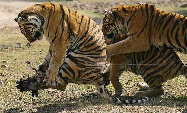 http://4.bp.blogspot.com/_8ZKmSPePGSs/TPJWZD9bUHI/AAAAAAAAAuQ/HoLQFZudvoQ/s1600/tiger_1772032i.jpg