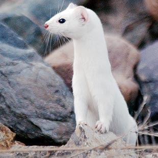 external image white+weasel.jpg
