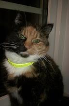 Selma - Husets enda riktiga katt, nu i katthimlen.