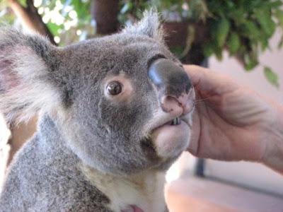 http://4.bp.blogspot.com/_8_Q15U1xG7s/RjHErIioBxI/AAAAAAAAA88/7t9vv-ShSoU/s400/Koala.JPG