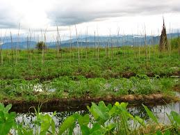 Tomato plantation