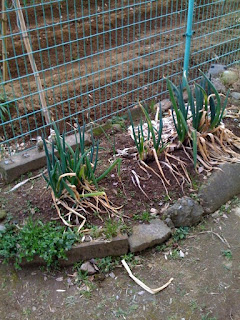 越谷ネギが立った最近の家庭菜園