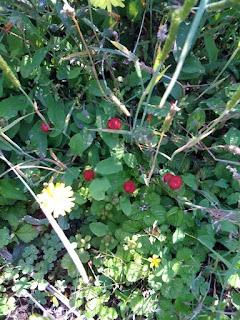 田んぼのあぜ道で見つけたヘビイチゴ