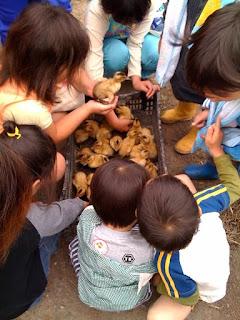 越谷市鴨ネギ鍋の田植え&稲刈り農業体験の合鴨