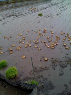 越谷市鴨ネギ鍋の田植え&稲刈り農業体験の合鴨農法