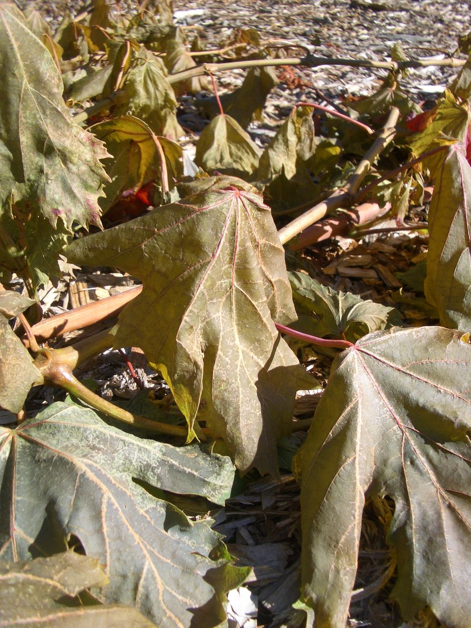 little backyard garden: wilting grape leaves