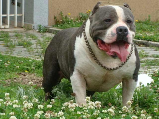 Kurupt American Bully http://antoniocesarmartins.blogspot.com/2010/11/american-bully-godfather.html