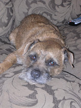 Meet our border terrier, Derby.