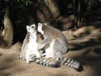 [lemurs]