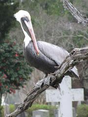 Cemetery Pelican