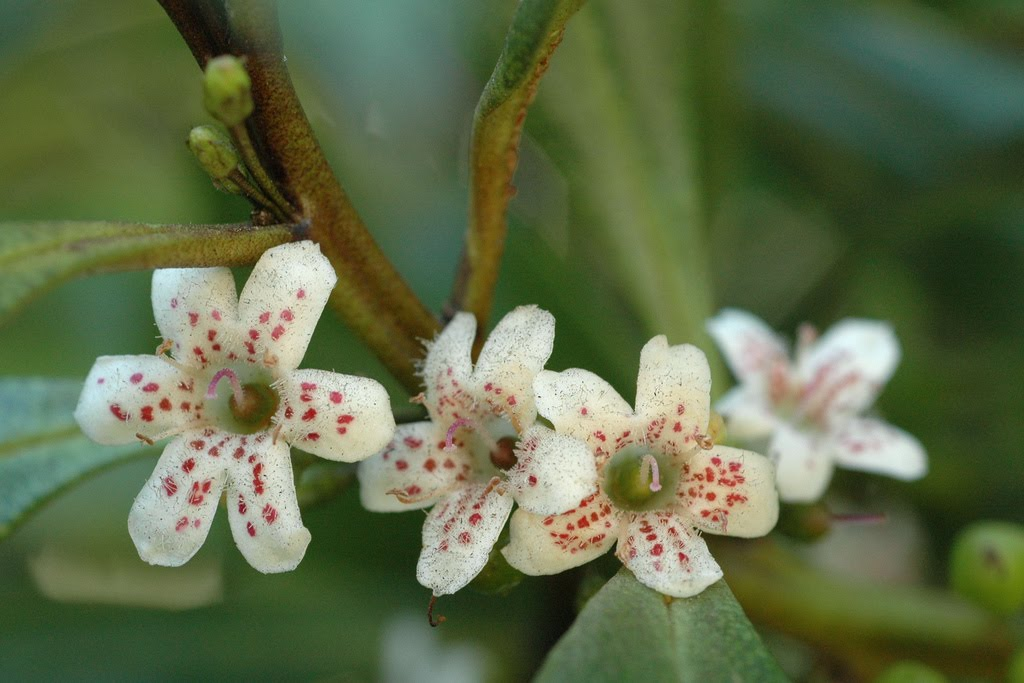 Tree identification myoporum laetum myoporum small 12 white bell shaped flowers with tiny purple throat spots in summer mightylinksfo
