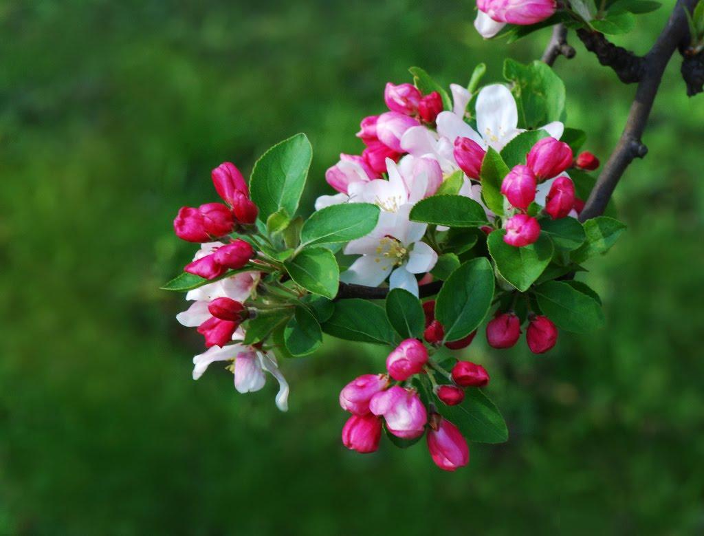 Tree Identification Malus floribunda Japanese Flowering Crabapple