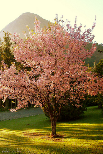 Tree Identification: Prunus serrulata - Flowering Cherry