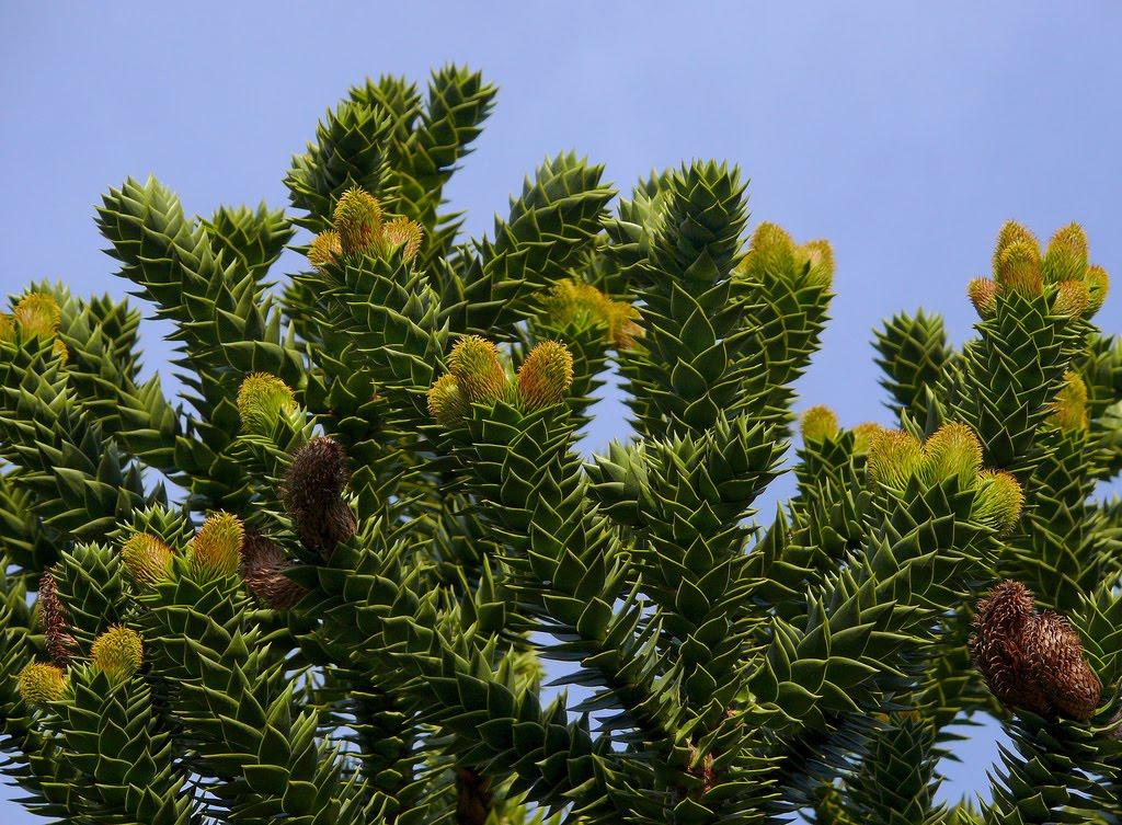 Tree identification araucaria auracana monkey puzzle tree - Piante da giardino ...