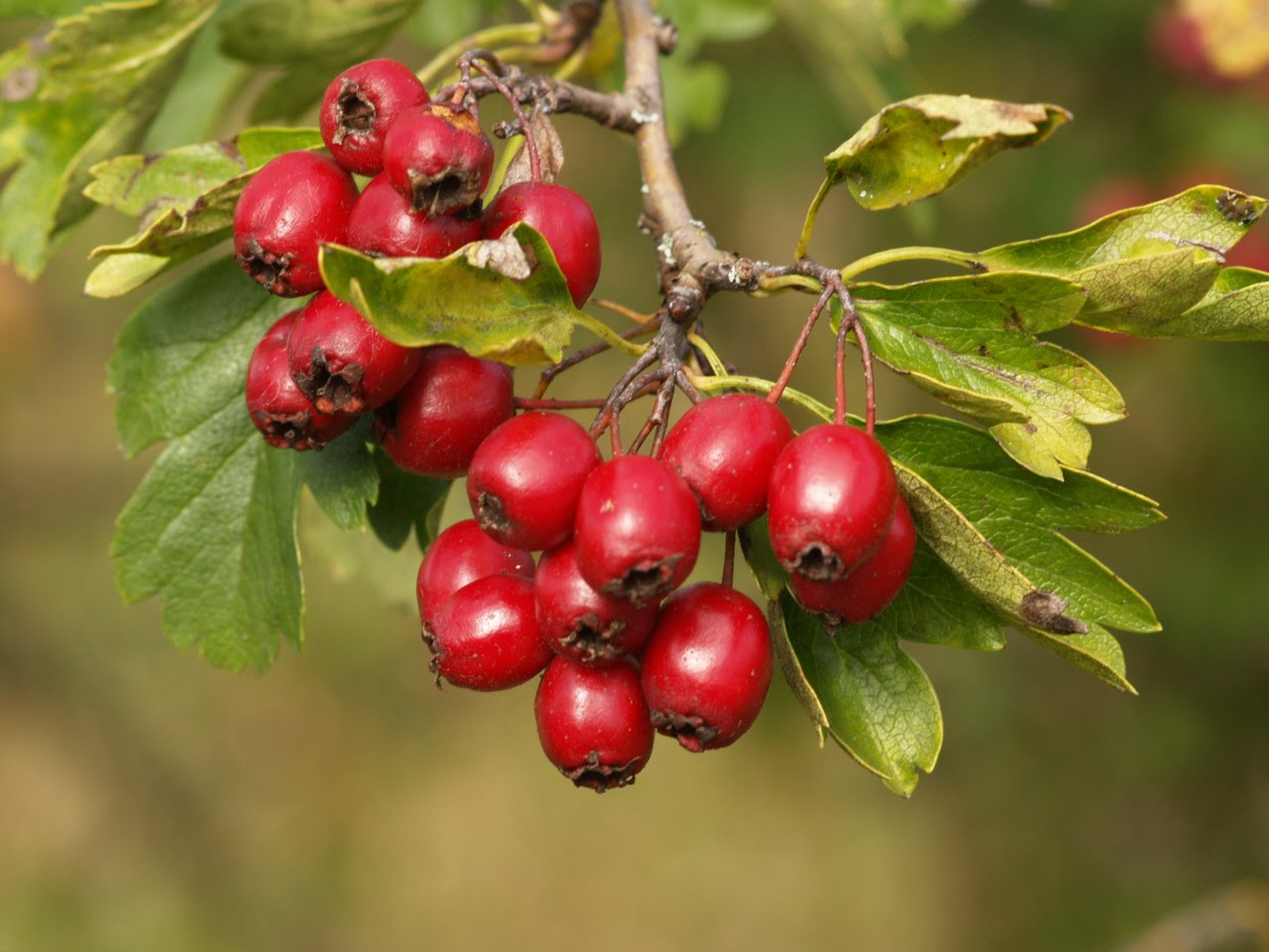 Trees With Red Berries Clusters