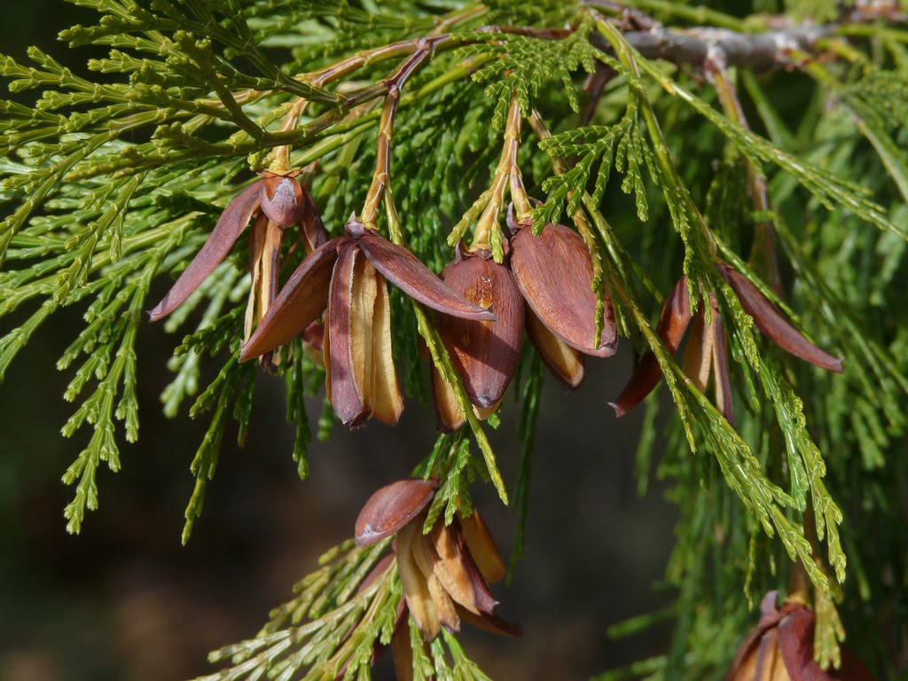 Tree identification calocedrus decurrens incense cedar