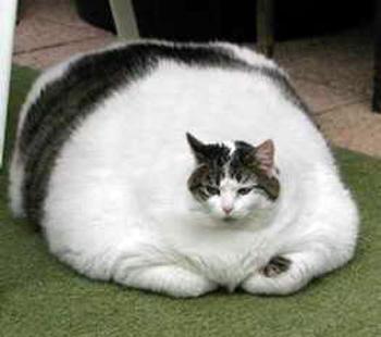 Dicas de Saúde: dietas, exercícios, etc - Página 4 Gato-gordo