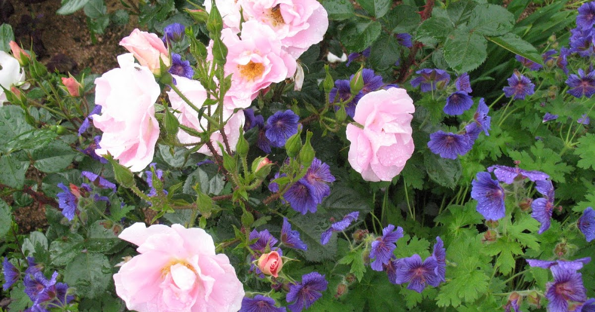 Roses du jardin ch neland rosier pink robusta - Beau jardin rose and geranium ...