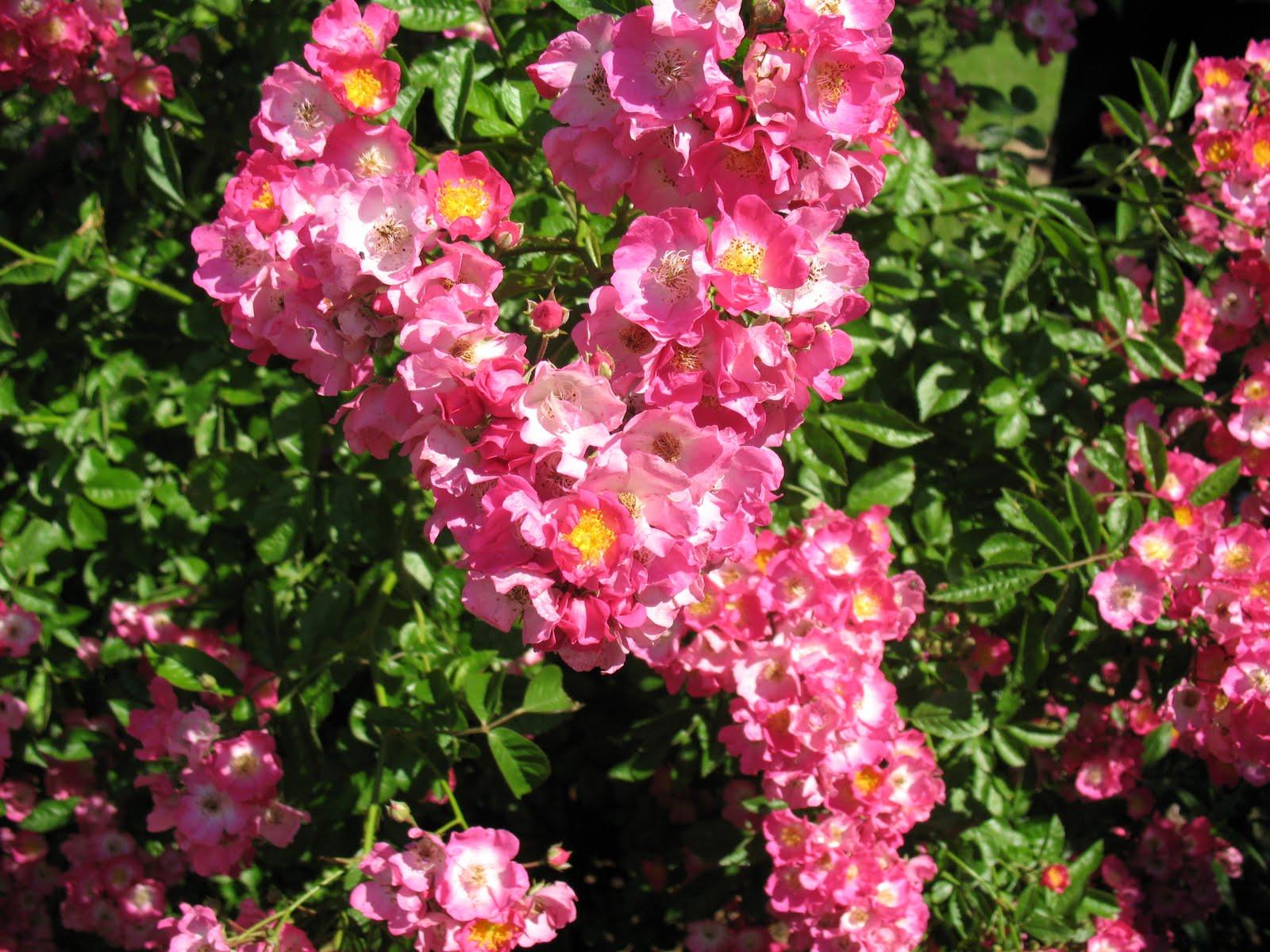 Roses du jardin ch neland rosier maria lisa - Comment tailler les rosiers ...
