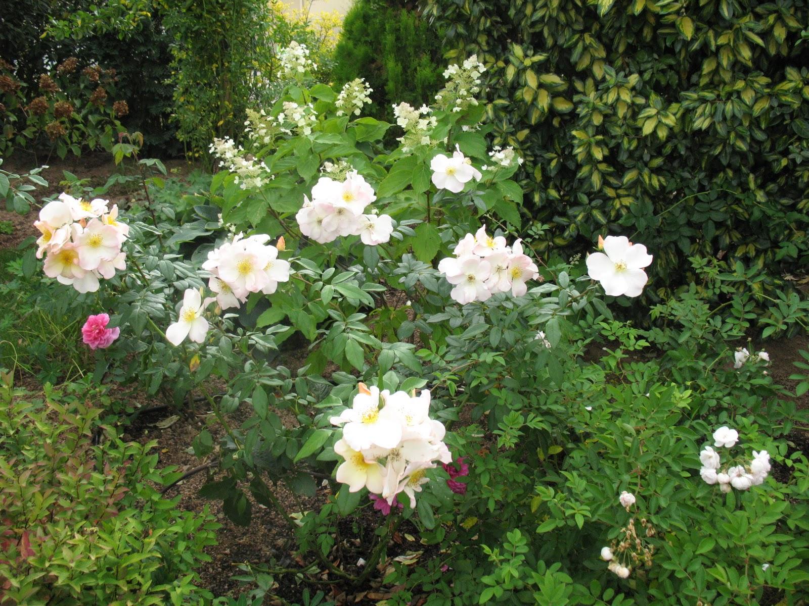 Roses du jardin ch neland rosier sally holmes - Maladie du rosier ...