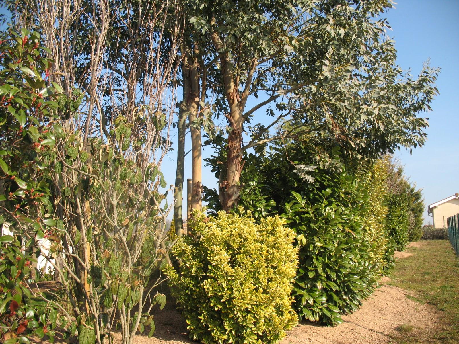 Decor Arbre Eucalyptus Dans Jardin