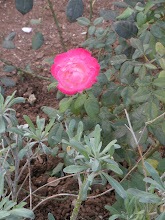 A Rose Cassandra Spied in the Garden of Gethsemane