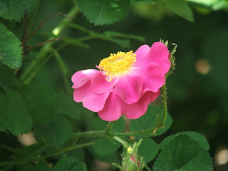 Rose La Belle Sultane
