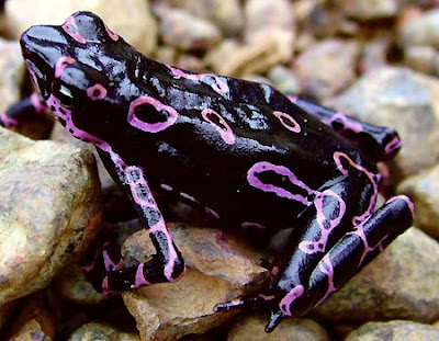 funny pics of frogs. Atelopus Frog