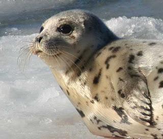 foca della groenlandia