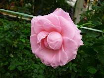 金马仑上的花.......
