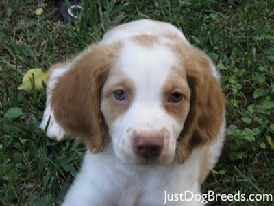 Cachorro Brittany