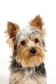 Yorkshire Terrier imagenes