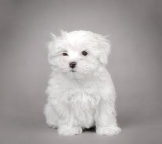 cachorro maltese