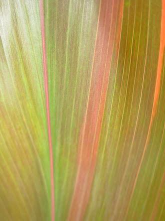 Foliage - Cordyline