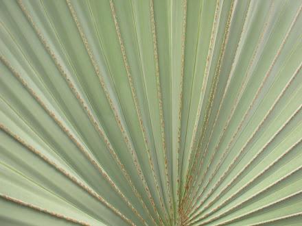 Foliage - Bismarkia Plam
