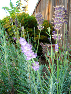 Backyard lavender