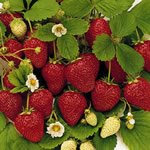 Tristar strawberries