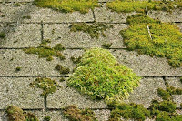 Roof moss